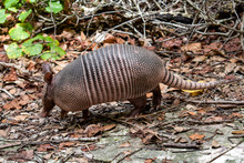 Wild Armored Armadillo Foragin...