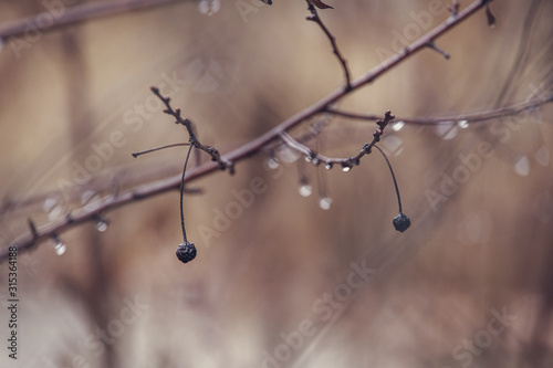 Fototapety, obrazy: raindrops on a branch of a leafless tree in close-up in January