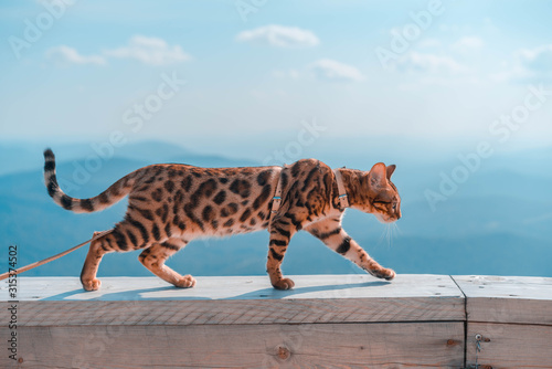 Photo Young bengal cat on a leash