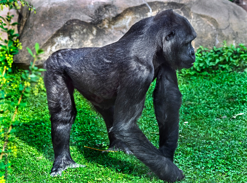 Gorilla walking on the lawn in its enclosure Wallpaper Mural