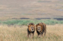 Two Lions Hunting In The Afric...