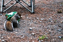 Squirrel & Chipmunk Raiding Ca...