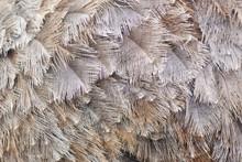 Background, Texture Of Ostrich...