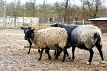 Sheep Outdoors In The Mud