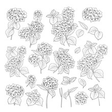Linear Style Set Of White Hydrangea, Hand Drawn Contour Illustration Of Hortensia Flowers Isolated On A White Background. White Hydrangea Collection. Vector Illustration.