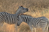 Spielende junge Zebras