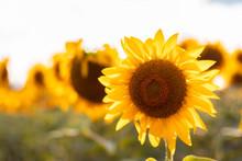 Natural Fresh Sunflowers Flowe...