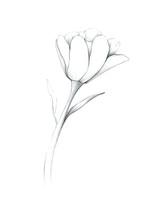 Spring Flower Tulip In Pencil,...