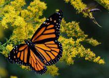 Monarch Butterfly On Yellow Goldenrod Flowers With Yellow Jacket Flying By