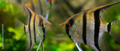 Angelfish Pterophyllum scalare in an aquarium Canvas Print