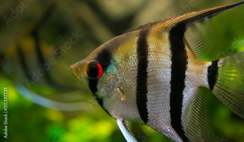 Photo Angelfish Pterophyllum scalare in an aquarium