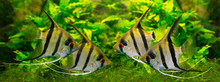 Angelfish Pterophyllum Scalare...