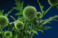 Twigs Of Tall Globe Thistle On...