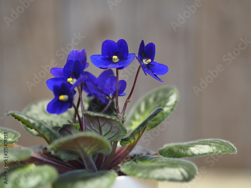 Home flowers. Blue violet with a yellow center in a pot on a background of an ancient wooden background. Wintering.