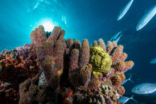 Colorful Soft Various Sponges With Tropical Fish Stream Under Blue Ocean On Sunlight