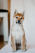 Cute Fluffy Dog Akita With White And Gold Fur Sitting Calm And Looking At Camera At Studio