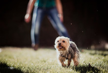 Funny Tiny Brown Yorkshire Terrier Scampering On Green Grass With Open Chaps On Sunny Summer Day