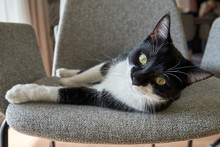 Curious Cat With Black And White Fur And Green Eyes Lying On Stylish Armchair At Home