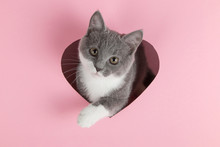 A Grey Kitten Peeks Out Of A Heart-shaped Hole On A Pink Background. Design Blank For Valentine's Day, Greeting Card, Expression Of Love. Copy Space.