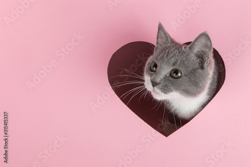 fototapeta na szkło A grey kitten peeks out of a heart-shaped hole on a pink background. Design blank for Valentine's Day, greeting card, expression of love. Copy space.