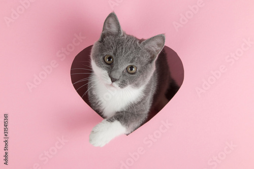 A grey kitten peeks out of a heart-shaped hole on a pink background Tableau sur Toile