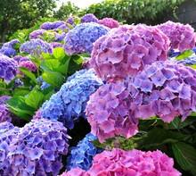Beautiful Hydrangea Plant In B...