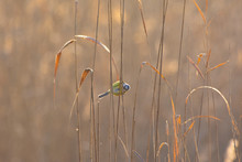 Blue Tit On The Reed