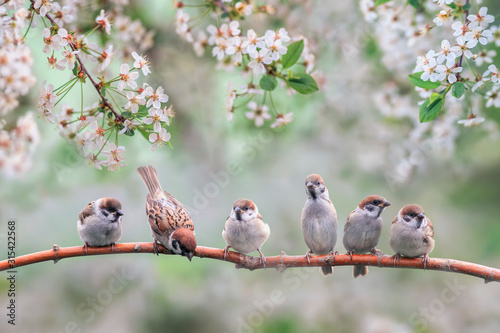 Obraz natural background with small birds on a branch white cherry blossoms in the may garden - fototapety do salonu