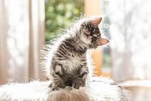 Portrait Of Cute Fluffy Kitten Tilting Head