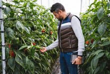 Man Checking Bell Peppers Plants In A Greenhouse, Almeria, Spain