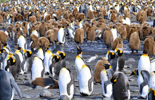 Healthy King Penguins In A Bre...