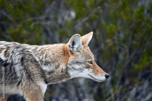 Wild Coyote In Remote West Texas Fototapet