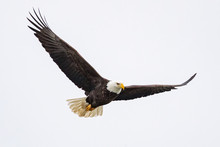 A Bald Eagle Hunts Over The Io...