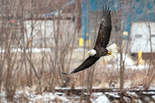 A Bald Eagle Hunts Over The Iowa River In Downtown Iowa City On Monday, Jan. 13, 2019.