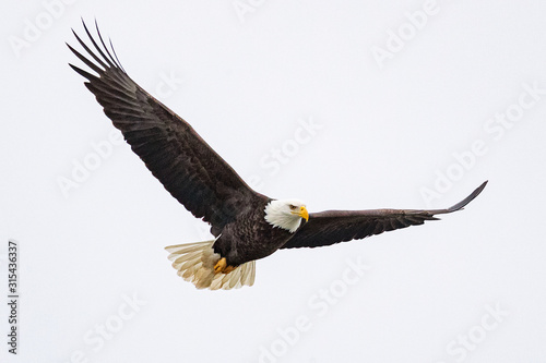 A bald eagle hunts over the Iowa River in downtown Iowa City on Monday, Jan Fototapeta