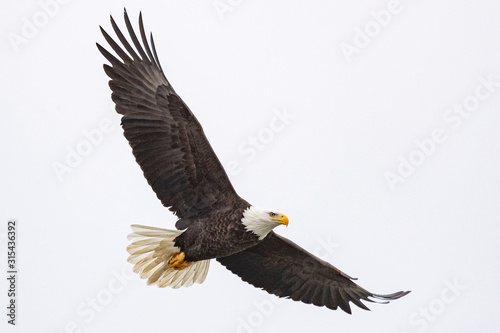 Obraz na plátně A bald eagle hunts over the Iowa River in downtown Iowa City on Monday, Jan