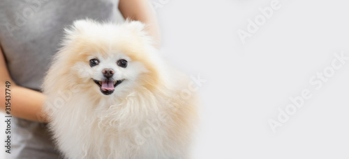 Professional groomer combing little dog pomeranian spitz, white background Canvas Print