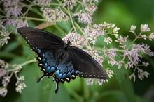 Spicebush Swallowtail Butterfly Feeding On Pink Joe Pye Weed Flowers