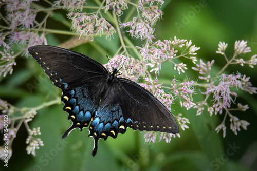 Cuadros en Lienzo Spicebush Swallowtail Butterfly Feeding on Pink Joe Pye Weed Flowers