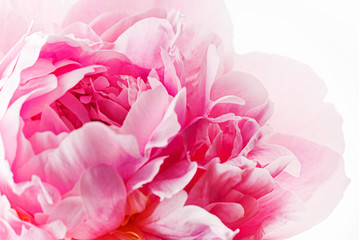 Fototapeta Do salonu fresh peony flower on the white background