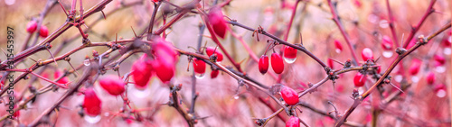 Fotografia  red berries with a drop of water hanging from a branch on a pink background