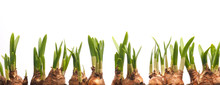 Growing Narcissus Bulbs In A R...