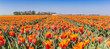 Panorama of orange tulips in Noordoostpolder, Holland