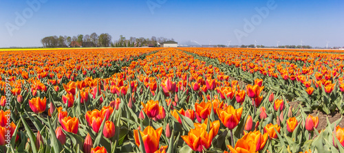 Fotografie, Obraz Panorama of orange tulips in Noordoostpolder, Holland
