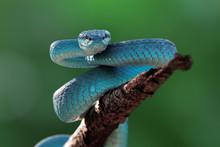 Blue Viper Snake Closeup Face,...