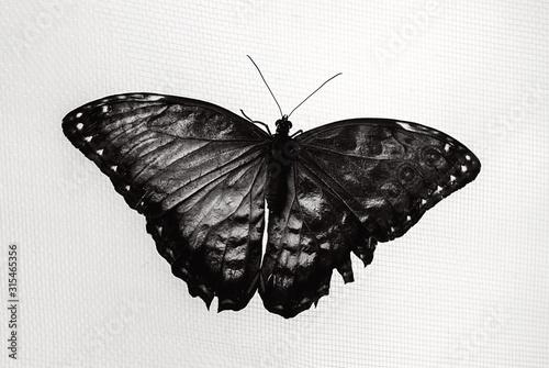 Photo Fotografia in bianco e nero di una farfalla con ali spiegate