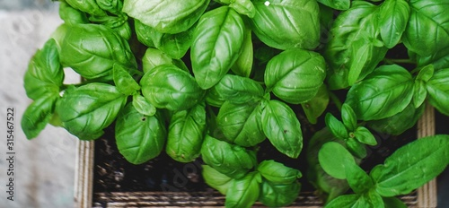 Fototapeta fresh basil in pot