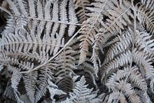 Frozen Leaves Of Fern In Winte...