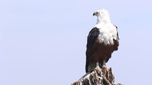 African Fish Eagle Sits On Stu...