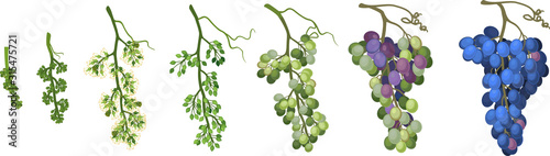 Fotografía Ripening stages of grape: from flower to ripe bunch of grapes isolated on white